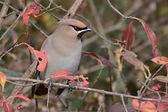 HNS_0930 Pestvogel : Jaseur boreal : Bombycilla garrulus : Seidenschwanz : Bohemian Waxwing