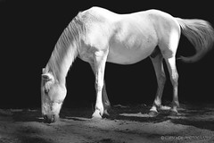Horse B&W (Clém VDB (TIOGRIS)) Tags: horse cheval bw animaldomestique animal monochrome