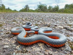 Bumps Ahead (Tom Fenske Photography) Tags: reptile snake wild ringneck