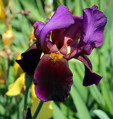 """City of Stratford"" Iris (TomIrwinDigital) Tags: flower flowers fantasticflower garden rbg rbgblooms burlington ontario iris cityofstratford iridaceae macro"