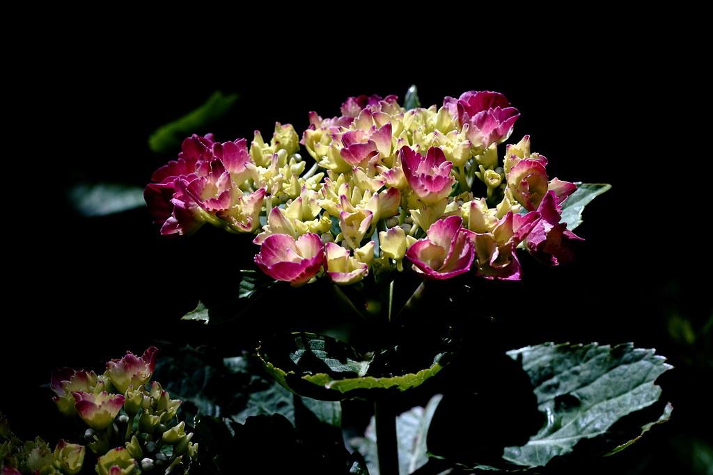 the world 39 s best photos of flower and hortensie flickr. Black Bedroom Furniture Sets. Home Design Ideas