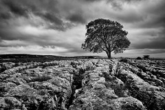 Test of Time (littlenorty) Tags: blackwhite dales england europe landscape lone mallam nature plants trees type unitedkingdom westyorkshire limestone pavement