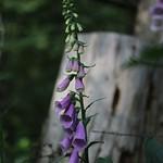 Foxglove - Digitalis purpurea thumbnail