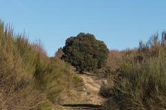 The Big Tree (P.J.C.R.) Tags: àrvore tree big grande carrasco carrasqueiro natureza nature naturezalinda naturezabela naturezabonita naturaleza