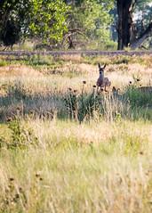 Momma, watch this (droy0521) Tags: summer colorado outdoors prairie wildlife rockymountainarsenal places whitetaildeer commercecity unitedstates us