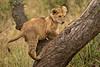 Lions of Maasai Kopjes 410 (Grete Howard) Tags: bestsafarioperator bestsafaricompany africa africansafari africanbush africananimals whichsafaricompany whichsafarioperator tanzania serengeti animals animalsofafrica animalphotos lions lioncubs maasaikopjes kopjes kopje