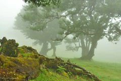 into the mystic (friedrichfrank1966) Tags: mystic madeira loorbeerwald insel trees bäume foggy fog nebel mountains berge plateau loorbeer nikon sigma 24105 landscape landschaft urwald jungle laurisilvaforest