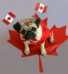 Happy Canada Day! (DaPuglet) Tags: pug pugs pet pets dog dogs animal animals canada 150 canadaday party celebration costume mapleleaf canuck sunrays5 coth coth5 alittlebeauty