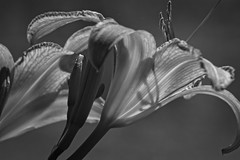 Shadow play (morganjellen) Tags: botanical blackandwhite macro matte flower impact