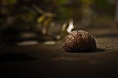lonely walnut / einsame walnuss (Peter Heilmann) Tags: brown nature fruit dark warm shadows natur walnut nut braun frucht walnuss nuss adobelightroom sonyalpha350