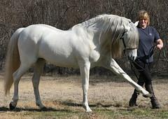 Lechoso D (skyhorseranch) Tags: horse grey spain mare texas spanish pre pura stallion andalusian espanola raza purebred