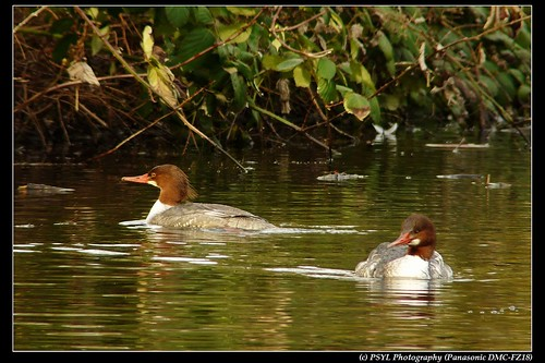 Female Common Mergansers (Mergus merganser)