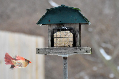 Female Cardinal - in flight