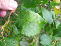 Gall on Goat Willow : 8519 (mausboam) Tags: salix goatwillow rushcliffecountrypark 20080929