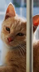 Polo (Sërch) Tags: cat orangecat gato polo gingercat nikond60