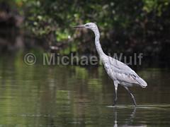 Wulf_Birds_04_22 (MikeWulf) Tags: birds michael florida wulf