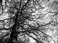Snow on Trees (Tasmin_Bahia) Tags: trees winter sky brown white snow black cold tree nature up contrast outside outdoors high snowy branches lookingup tall snowytrees