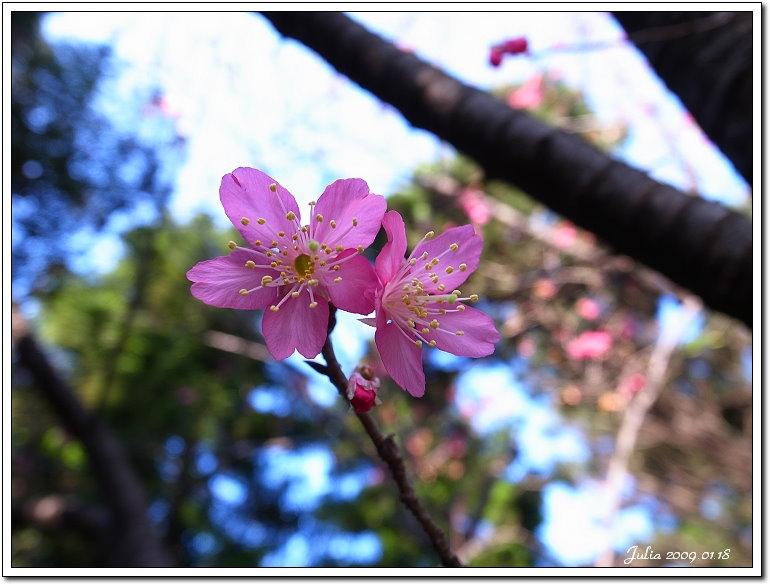 山櫻花開 (2)