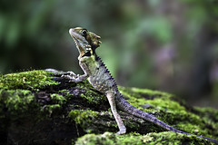 Camourflaged in the Rain-forest 'Boyds Forest Dragon (Hypsilurus boydii)' (Ingrid Douglas Images - ART in Photography) Tags: lizards boydsforestdragon rainforestanimals cairnsimages ingridinoz perfectoartsdreamcaptures tropicalnorthqueenslandimages reptilesinaustralia freshwatercreekattherocks faunainaustralia hypsilurusgonocephalusboydii