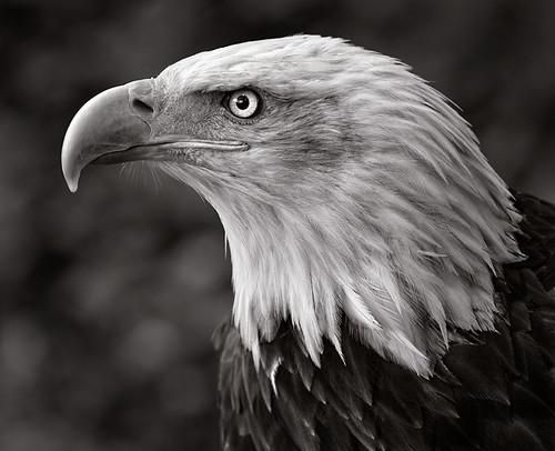 El Gran Aguila
