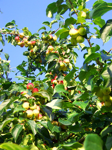crab apple in grams backyard