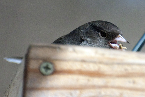 junco feeder 2