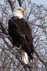 Haliaeetus leucocephalus 'bald eagle' perched (jtj3photos) Tags: nature birds animals us nikon iowa 2010 topaz d300 leclaire 150500mm pse8