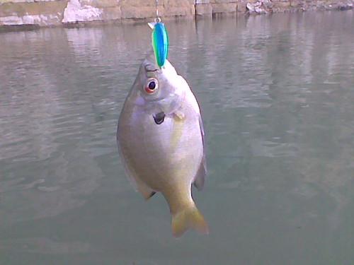 medina sunfish bluegill medinalake