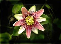 Passiflora 4 (DBTfern) Tags: country passiflora culzean parkayrshire