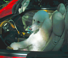 Lisette Is A Very Relaxed Driver (Louise Lindsay) Tags: dog pet sun white public car shadows florida miami poodle lisette topaz dogdays whitedog standardpoodle driversseat dogdriving redconvertible standardpoodlecanicheroyal petpoodle petstandardpoodles lisetteinthedriversseat public2010