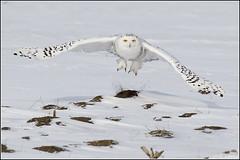 Owl (Snowy) - 0719A (Earl Reinink) Tags: flight raptor snowyowl snowyowlinflight earlreinink wwwearlreininkcom wwwipaintca