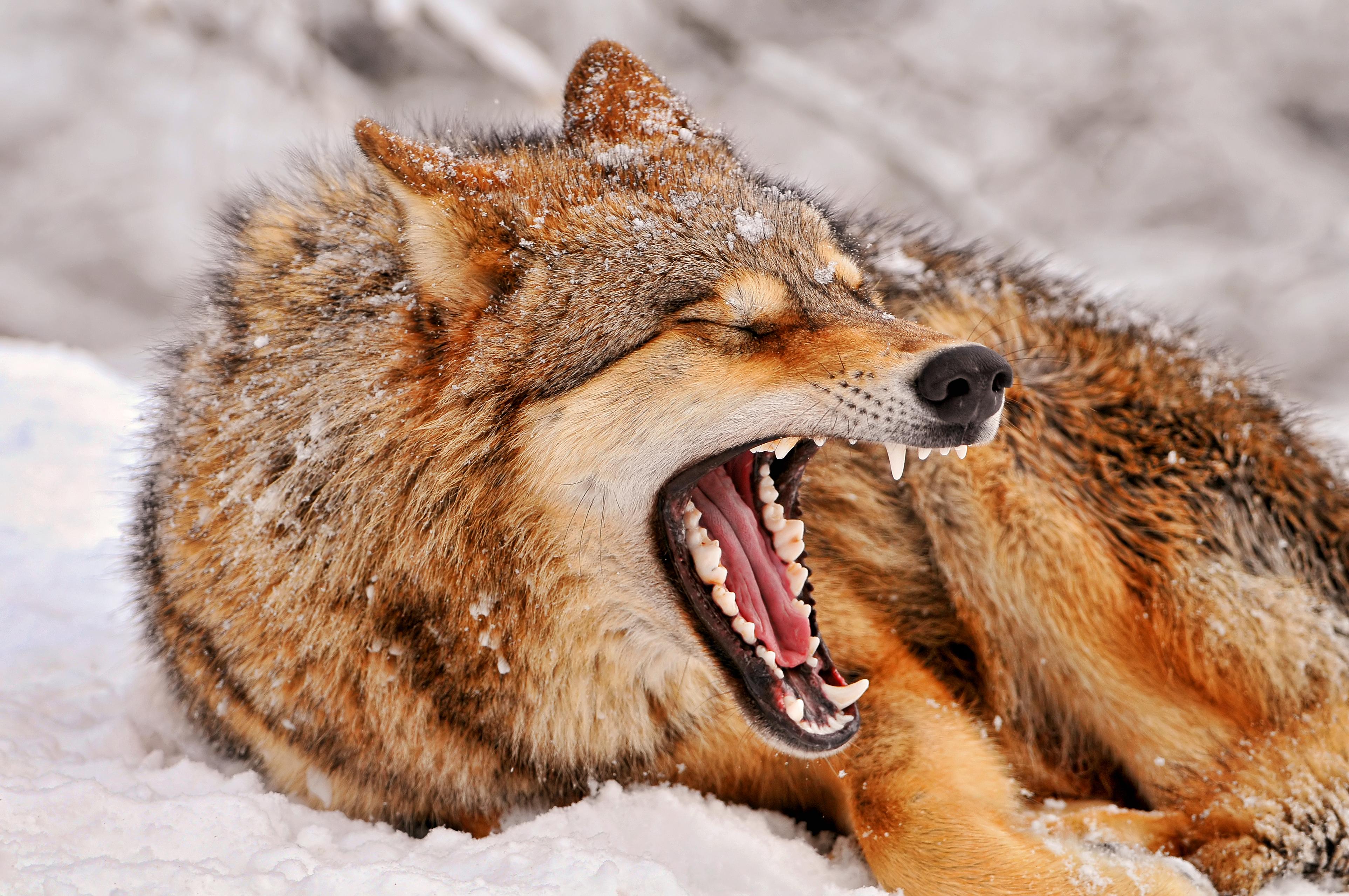 あくびをする狼の画像