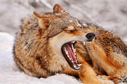 フリー画像|動物写真|哺乳類|イヌ科|狼/オオカミ|欠伸/あくび|フリー素材|