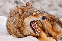 [フリー画像] [動物写真] [哺乳類] [イヌ科] [狼/オオカミ] [欠伸/あくび]      [フリー素材]