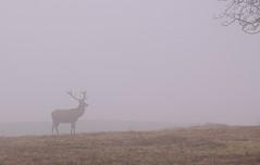 Deer in the fog (Ed Melia) Tags: park fog leicester deer gmt bradgatepark flickraward bestofmywinners flickrunitedaward