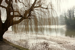 A Willow Tree over the Thames