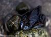 Blue racing stripes (sdamlo) Tags: macro beach pen 50mm washington marine shoreline shell olympus shore pacificnorthwest pugetsound mussel zuiko marinelife ep1 bivalve mukilteo