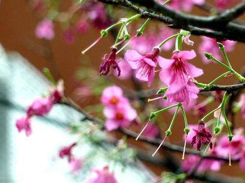 2010年216巷弄中的櫻花樹