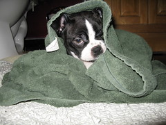 towel dry4 (thekims) Tags: puppy bostonterrier rizzo