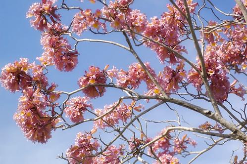 pink trumpet tree no.1