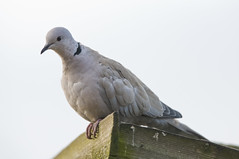 Collared Dove (Streptopelia Decaocto) on a Shed Roof (Steve Greaves) Tags: wood pink winter light brown bird garden grey wooden pastel pigeon dove wildlife overcast aves naturalhistory february common avian coo barnsley southyorkshire collareddove eurasiancollareddove streptopeliadecaocto darfield shedroof nikond300 nikonafsii400mmf28ifed