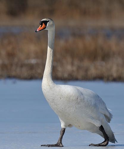 Skating Swan