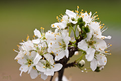 Early Blossoms (Ellie Stone) Tags: flowers white spring bokeh plumblossoms potofgold earthnaturelife