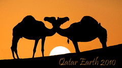Hug camels at the time of sunset By Qatar Earth (Qatar Earth  ) Tags: sunset by hug time earth camels qatar impressedbeauty