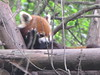 Red Panda lounging on a wooden con…