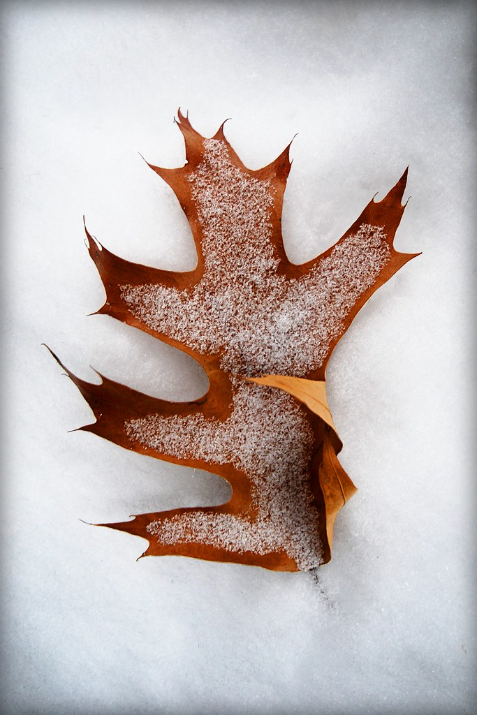 A lonely leaf with a dusting of snow.