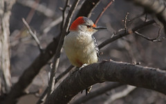 The Redhead (Tony Tanoury) Tags: friends wild tree bird nature animal closeup fauna bill woodpecker searchthebest michigan wildlife beak feather perch redbelliedwoodpecker ornithology birdwatching soe avian redbellied melanerpescarolinus naturesfinest blueribbonwinner supershot specanimal mywinners abigfave anawesomeshot theunforgettablepictures overtheexcellence femaleredbelliedwoodpecker naturethroughthelens thewonderfulworldofbirds coth5