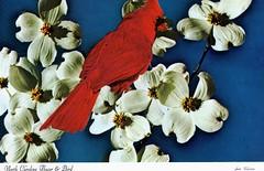 Cardinal and Dogwood (wallygrom) Tags: usa cardinal postcard northcarolina cherokee dogwood rtw smokymountains motorcycletrip cornus cherokeekoa cherokeekampingresort