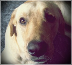 Esos ojos.... (MeluRogi) Tags: dog pet look eyes labrador adorable retriever perro ojos te hermoso roger lovely autor mirada mascota gordo gentle noble desconocido amoroso quieroooooo