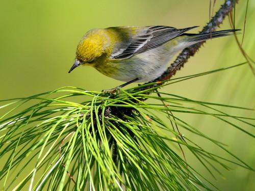 Pine Warbler 4-20100228
